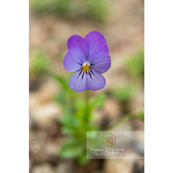 Pensée sauvage (viola tricolor) - Réf : VQF&J-11027 (Q3)