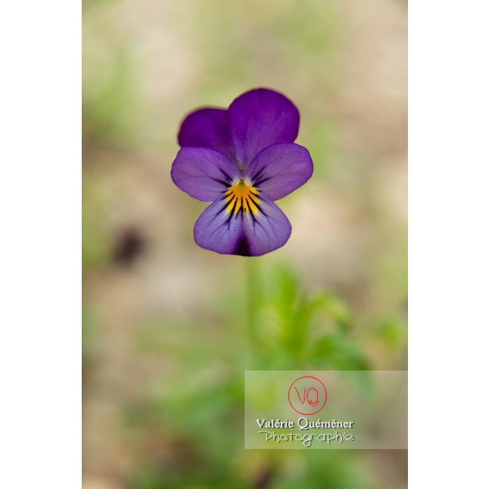 Pensée sauvage (viola tricolor) - Réf : VQF&J-11029 (Q3)