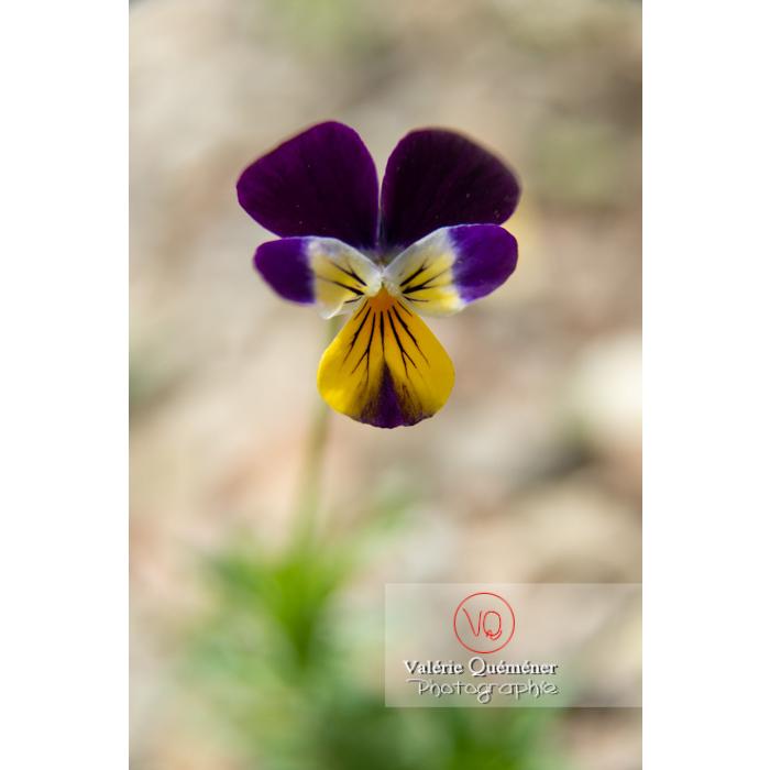 Pensée sauvage (viola tricolor) - Réf : VQF&J-11031 (Q3)