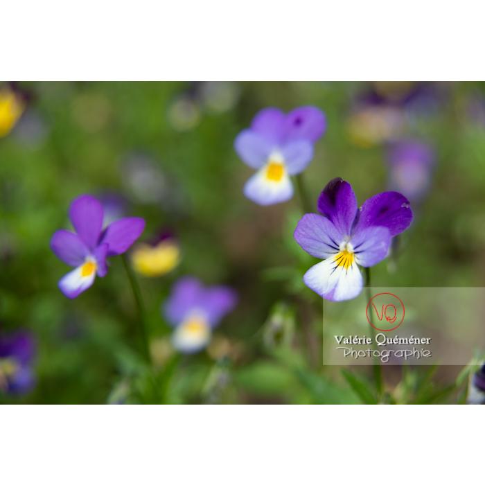 Pensées sauvages (viola tricolor) - Réf : VQF&J-11033 (Q3)