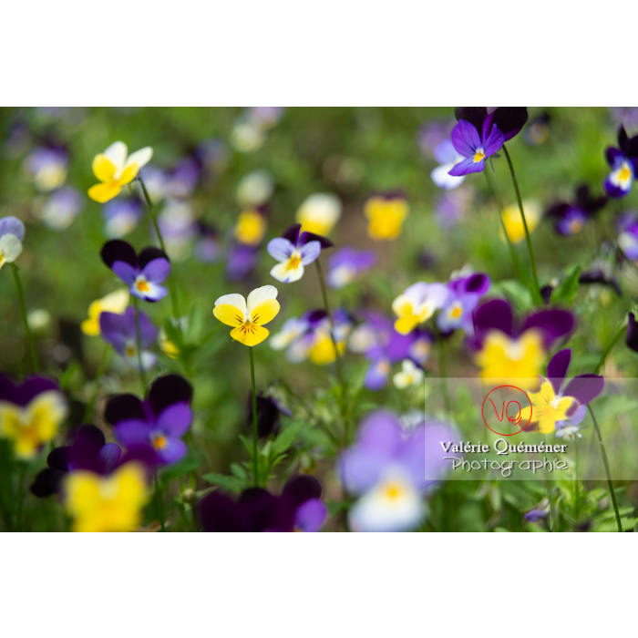 Pensées sauvages (viola tricolor) - Réf : VQF&J-11034 (Q3)