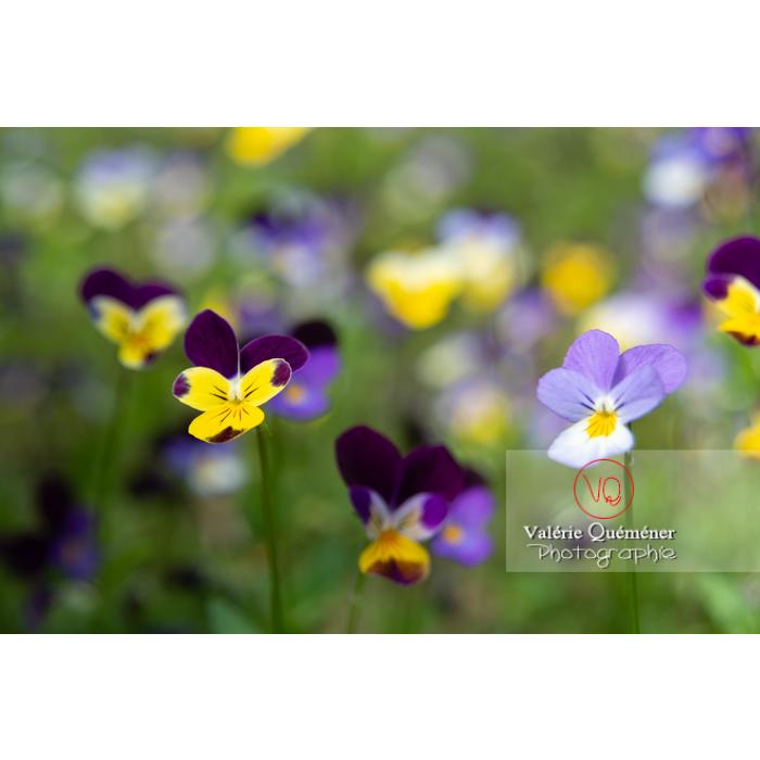 Pensées sauvages (viola tricolor) - Réf : VQF&J-11035 (Q3)
