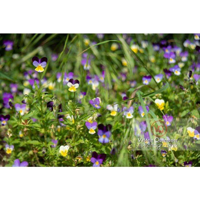 Pensées sauvages (viola tricolor) - Réf : VQF&J-11037 (Q3)