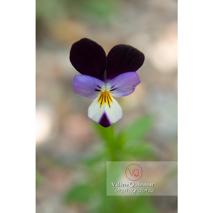 Pensée sauvage (viola tricolor) - Réf : VQF&J-11039 (Q3)