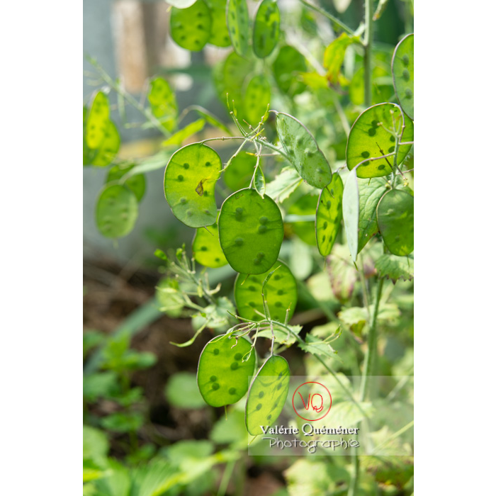 Fruits verts de la monnaie-du-pape ou lunaire (lunaria sp) - Réf : VQF&J-11063 (Q3)