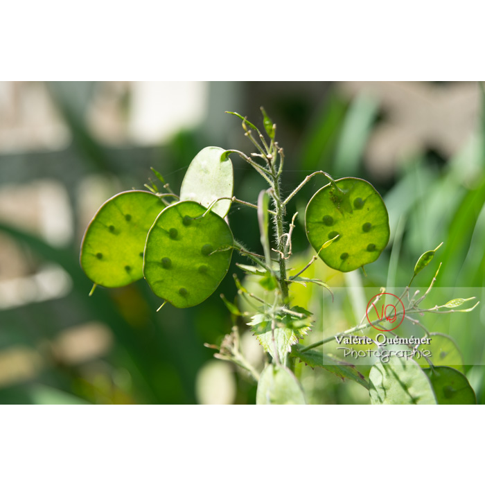 Fruits verts de la monnaie-du-pape ou lunaire (lunaria sp) - Réf : VQF&J-11064 (Q3)