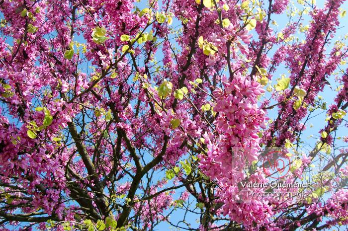 Fleurs d'arbre de Judée - Réf : VQF&J-1110 (Q1)