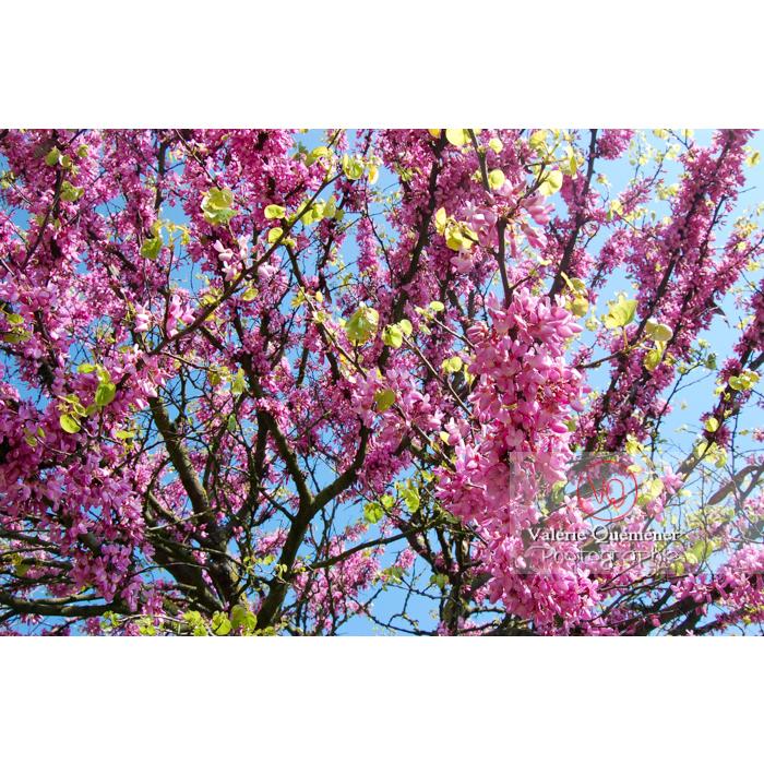Arbre de Judée en fleurs - Réf : VQF&J-1110 (Q1)