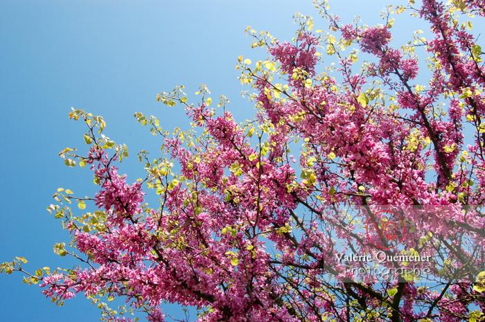 Fleurs d'arbres de Judée - Réf : VQF&J-1112 (Q1)