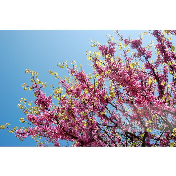 Arbre de Judée en fleurs - Réf : VQF&J-1112 (Q1)