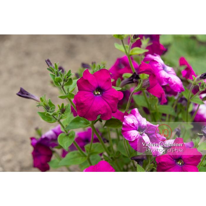 Fleurs de pétunia surfinia pourpre - Réf : VQF&J-11164 (Q3)