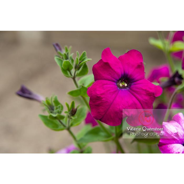 Fleur de pétunia surfinia pourpre - Réf : VQF&J-11165 (Q3)
