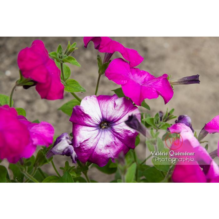 Fleur fanée de pétunia surfinia pourpre - Réf : VQF&J-11167 (Q3)