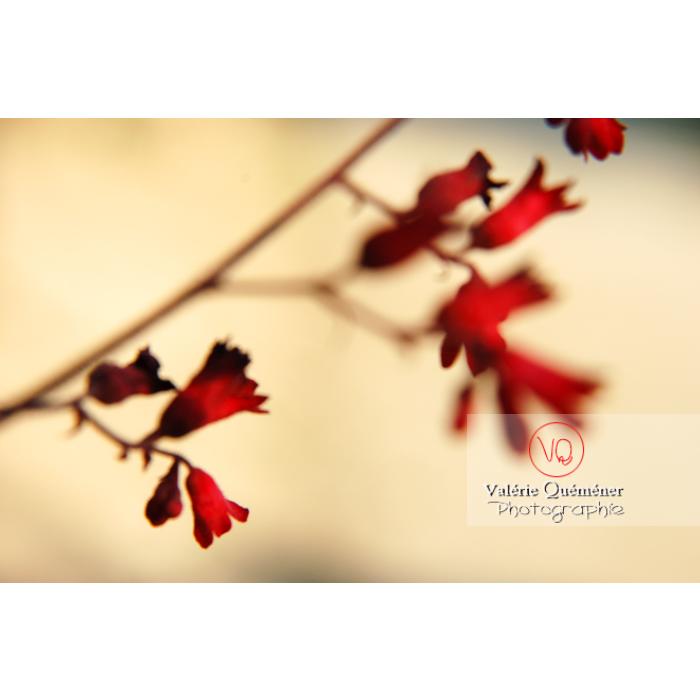 Fleurs d'heuchère floue - Réf : VQF&J-1147 (Q1)