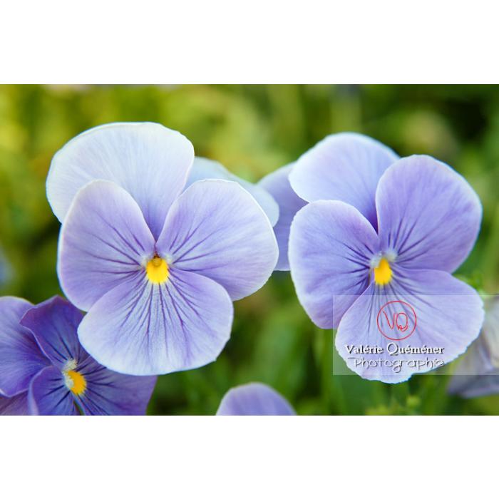 Pensées bleues (viola x wittrockiana) - Réf : VQF&J-1161 (Q1)