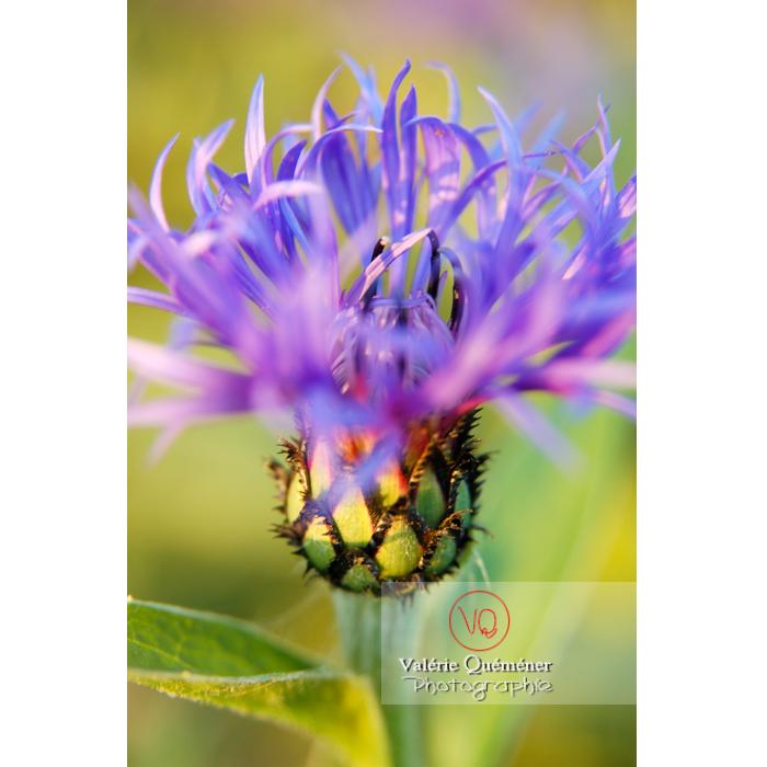 Fleur de centaurée - Réf : VQF&J-1188 (Q1)