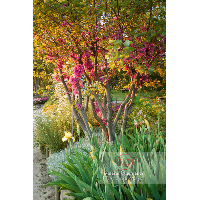 Arbre de Judée en fleurs - Réf : VQF&J-1196 (Q1)