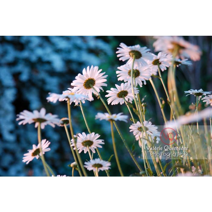 Marguerites au coucher de soleil - Réf : VQF&J-1199 (Q1)