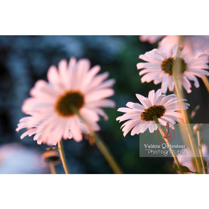 Marguerites au coucher de soleil - Réf : VQF&J-1202 (Q1)