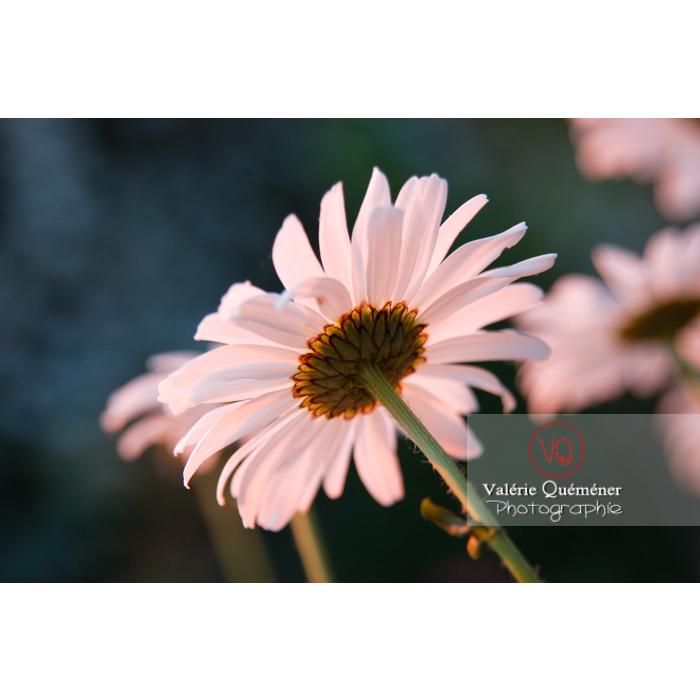 Marguerites au coucher de soleil - Réf : VQF&J-1205 (Q1)