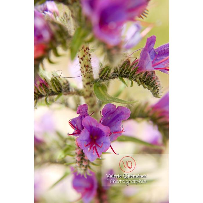 Fleur de vipérine - Réf : VQF&J-1231 (Q1)