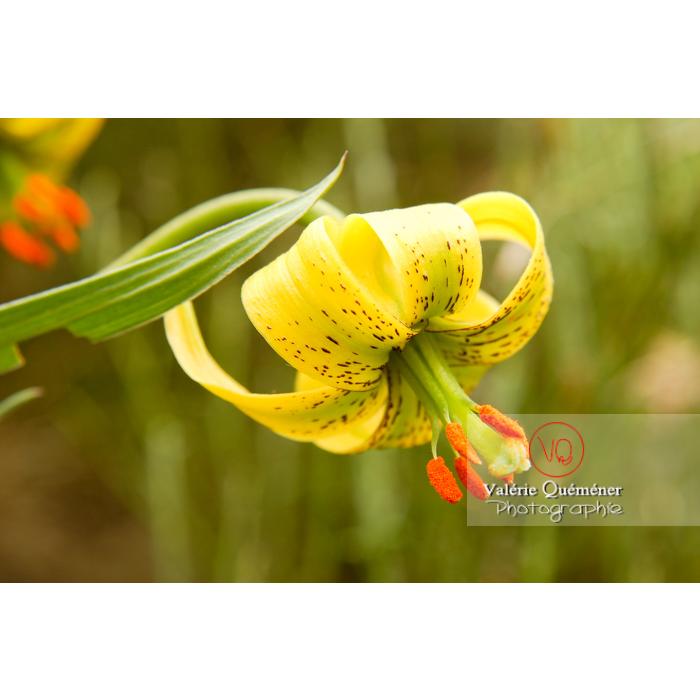 Fleur de lys des Pyrénées - Réf : VQF&J-1236 (Q1)