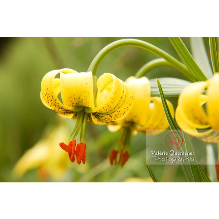 Fleurs de lys des Pyrénées - Réf : VQF&J-1237 (Q1)