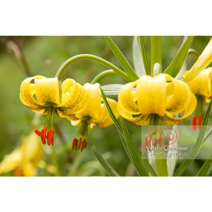 Fleurs de lys des Pyrénées - Réf : VQF&J-1238 (Q1)