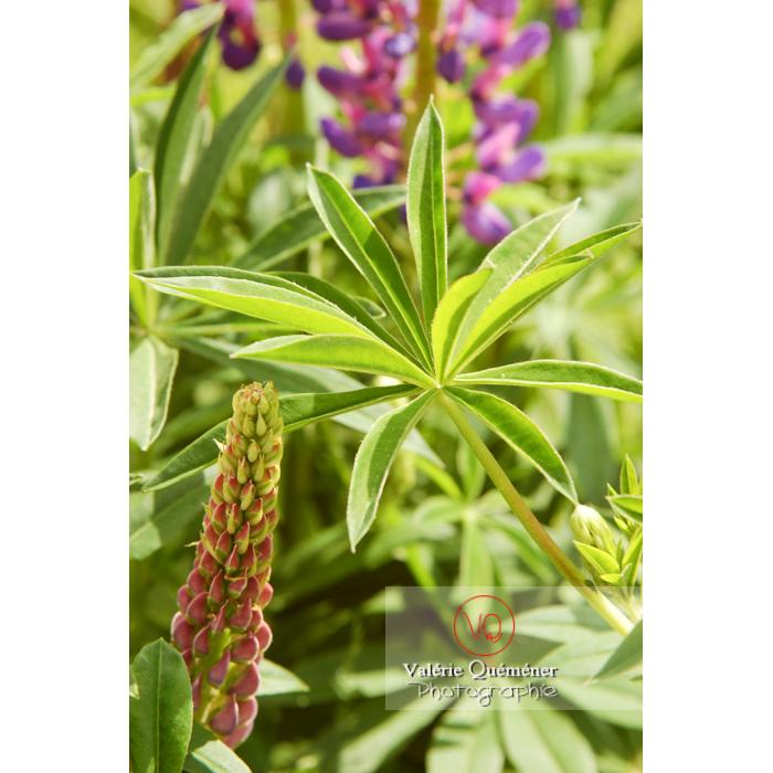 Fleur et feuille de lupin - Réf : VQF&J-1246 (Q1)