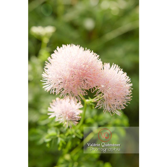 Fleur de pigamon - Réf : VQF&J-1263 (Q1)