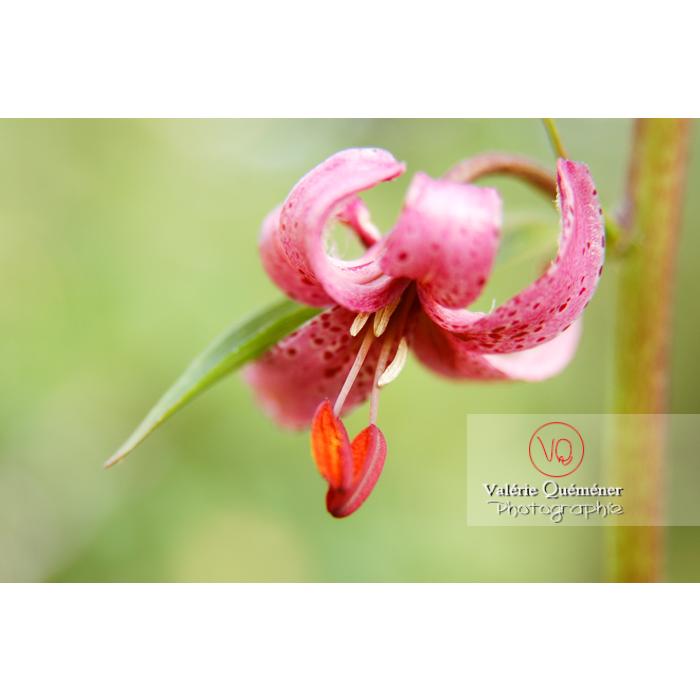 Fleur de lys de Martagon - Réf : VQF&J-1266 (Q1)
