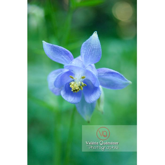Fleur d'ancolie bleue - Réf : VQF&J-1271 (Q1)