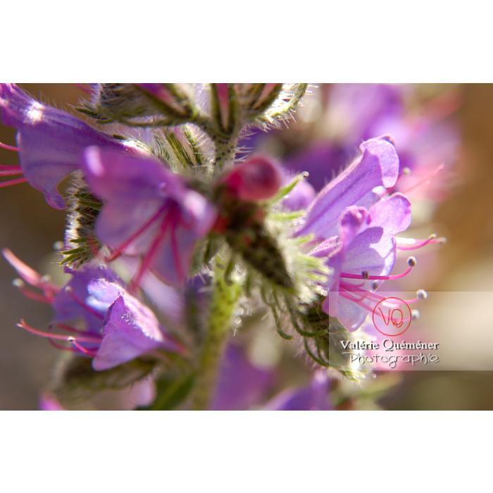 Fleur de vipérine - Réf : VQF&J-1277 (Q1)