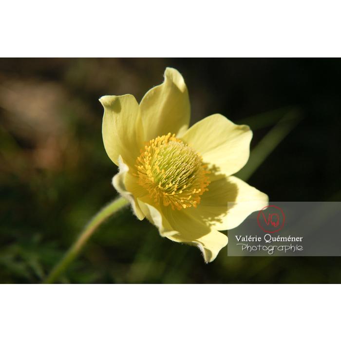 Fleur d'anémone souffrée dans les Pyrénées - Réf : VQF&J-1279 (Q1)