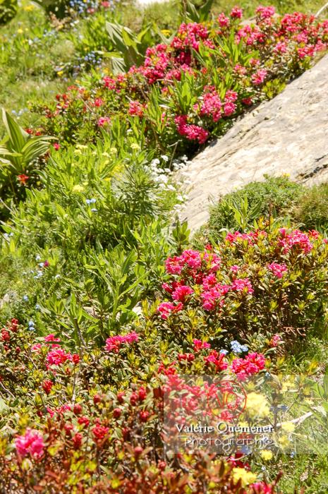 Fleur de rhododendron dans les Pyrénées - Réf : VQF&J-1288 (Q1)