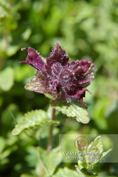 Fleur de bugle dans les Pyrénées - Réf : VQF&J-1293 (Q1)