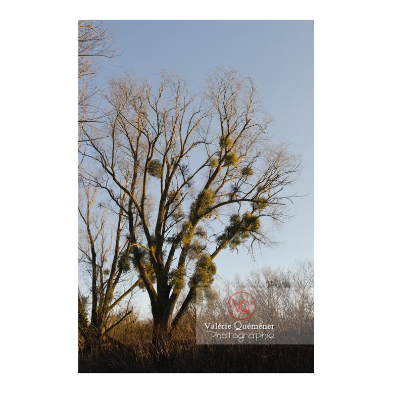 Boules de gui accrochées aux branches d'un arbre - Réf : VQF&J-13009 (Q3)