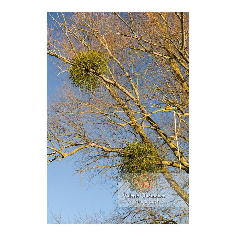 Boules de gui accrochées aux branches d'un arbre - Réf : VQF&J-13010 (Q3)