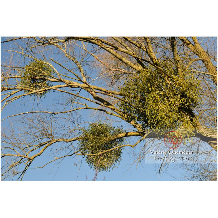 Boules de gui accrochées aux branches d'un arbre - Réf : VQF&J-13011 (Q3)