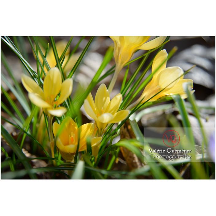 Groupe de petites fleurs de crocus jaune - Réf : VQF&J-13014 (Q3)
