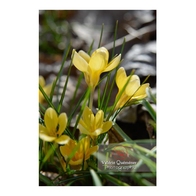 Groupe de petites fleurs de crocus jaune - Réf : VQF&J-13015 (Q3)