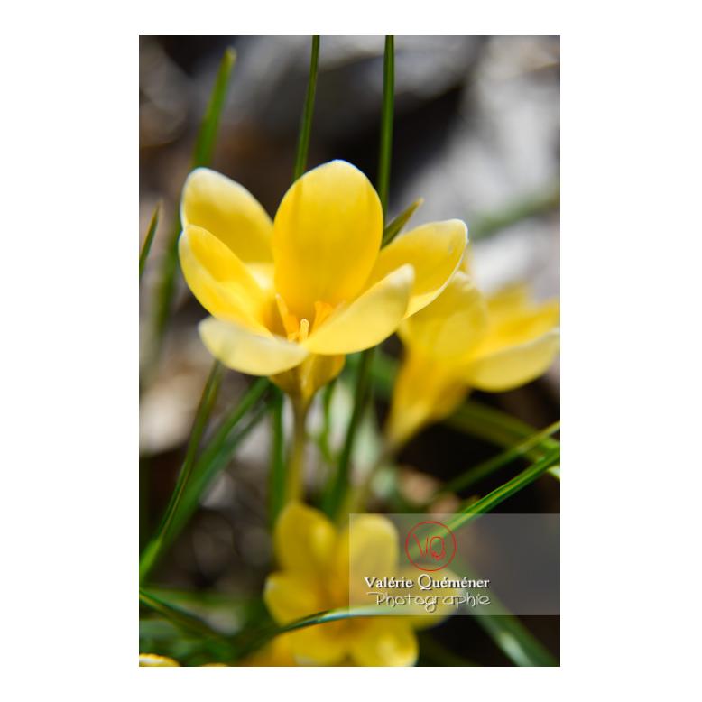 Gros plan de petites fleurs de crocus jaune - Réf : VQF&J-13018 (Q3)