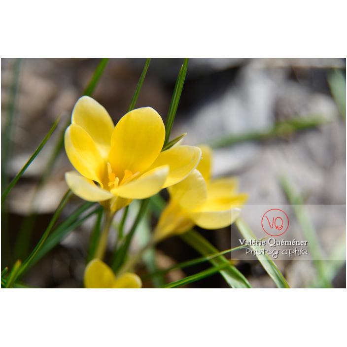Gros plan de petites fleurs de crocus jaune - Réf : VQF&J-13019 (Q3)