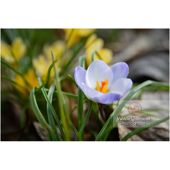 Petite fleur de crocus bleu - Réf : VQF&J-13021 (Q3)