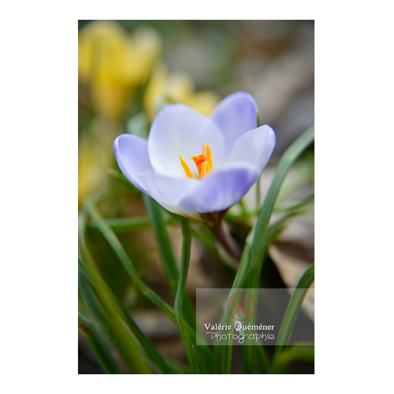 Petite fleur de crocus bleu - Réf : VQF&J-13023 (Q3)