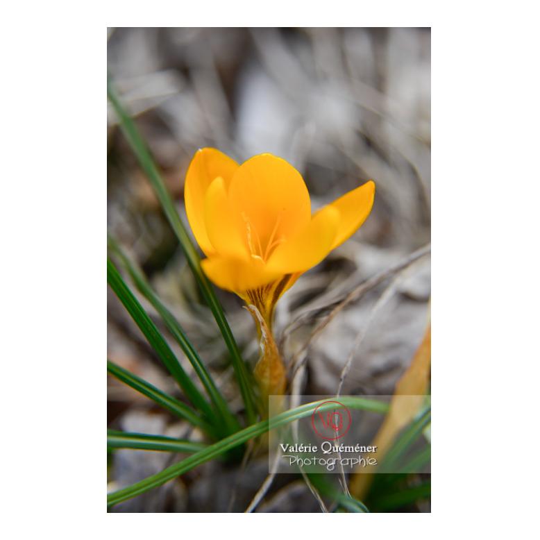Fleur de crocus jaune - Réf : VQF&J-13025 (Q3)