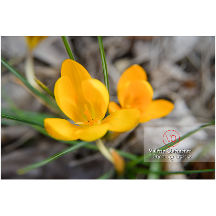 Fleur de crocus jaune vue de-dessus - Réf : VQF&J-13026 (Q3)