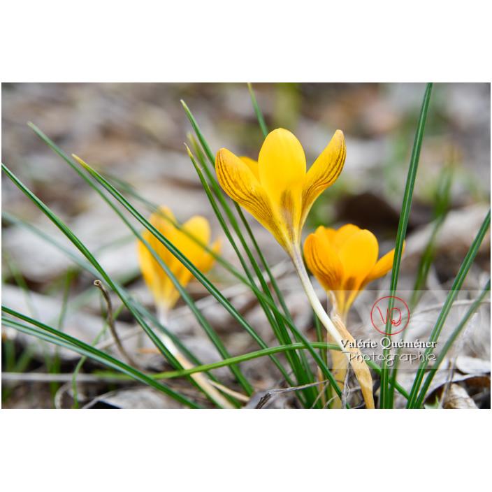 Petit groupe de fleurs de crocus jaune - Réf : VQF&J-13027 (Q3)