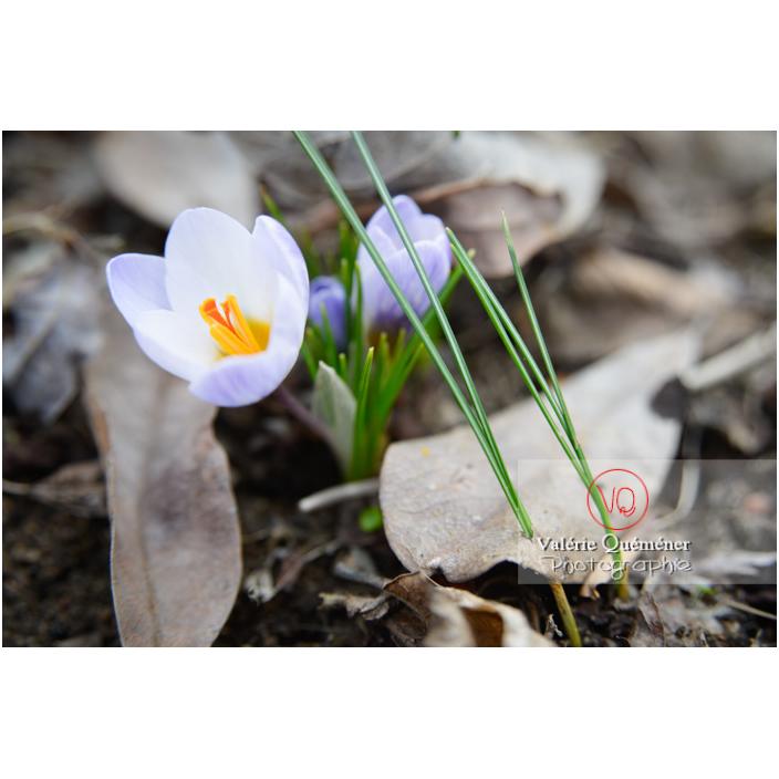 Petite fleur de crocus bleu et feuilles poussant à travers les feuilles mortes - Réf : VQF&J-13029 (Q3)