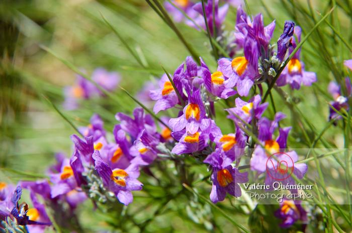 Fleur de linaire dans les Pyrénées - Réf : VQF&J-1303 (Q1)